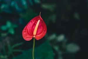 El enfoque selectivo floración de plantas de interior de anthurium foto
