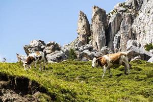 vacas en las montañas foto