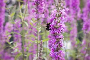 flor rosa y abejorro en la naturaleza o en el jardín foto