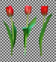 Realistic Colorful Tulips. Red Flowers on Background vector