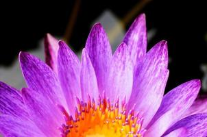 Pink water lily with macro close up background texture photo