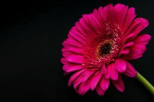 Flor de gerbera brillante sobre un fondo negro foto