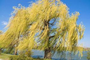 Windy weeping willow tree by the lake in Herastrau Park, Bucharest, Romania photo
