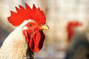 hermoso gallo sentado al sol foto