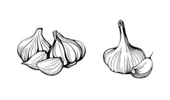 Garlic isolated on a white background. Set of garlic. Strengthening the immune system. Hand drawn vector illustration in Doodle style