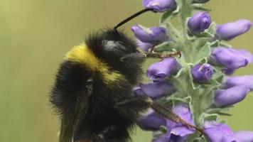 Bumblebee on a purple flower video