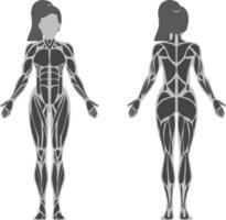 Female Muscle Anatomy vector