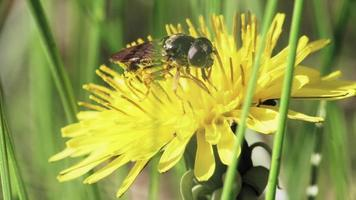 Hoverfly on a dandelion flower video