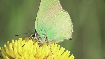 Papillon porte-cheveux vert sur une fleur de pissenlit video