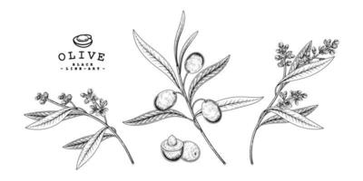 Branch of olive with fruits and flowers Hand drawn Sketch Botanical illustrations decorative set vector