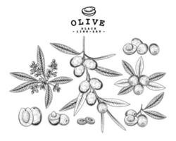Whole half slice and branch of olive with fruits and flowers Hand drawn Sketch Botanical illustrations decorative set vector