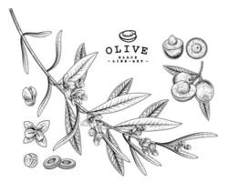 Whole half slice and branch of olive with flowers Hand drawn Sketch Botanical illustrations decorative set vector