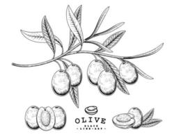 Branch of olive with fruits and leaves Hand drawn Sketch Botanical illustrations decorative set vector