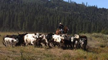 vaqueros arreando ganado, cámara lenta video
