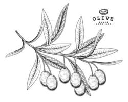 Branch of olive with fruits Hand drawn Sketch Botanical illustrations decorative set vector