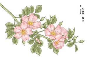 Branch of Pink Dog rose or Rosa canina with flower and leaves Hand Drawn Botanical Illustrations vector