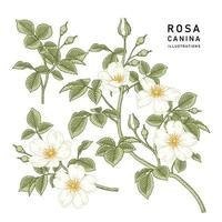 Branch of White Dog rose or Rosa canina with flower and leaves Hand Drawn Botanical Illustrations vector