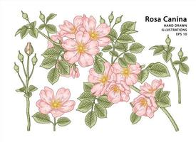 Branch of Pink Dog rose or Rosa canina with flower and leaves Hand Drawn Elements Botanical Illustrations vector