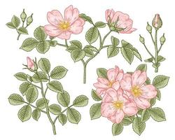 Branch of Pink Dog rose or Rosa canina with flower and leaves Hand Drawn Botanical Illustrations decorative set vector