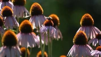 abeille sur les fleurs d'échinacée, ralenti video