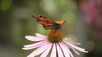 deux papillons monarques sur fleur de cône video