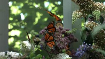 Monarchfalter, Zeitlupe video