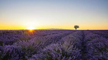 Lavender field in Provence   France photo