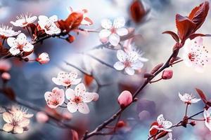 flores de ciruelo en la temporada de primavera flor rosa de sakura foto
