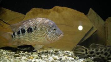 stor fisk i ett akvarium video