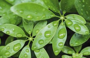 Gotas de agua sobre hojas verdes en temporada de lluvias fondo de naturaleza foto