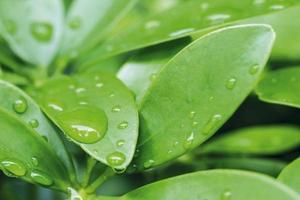 Gota de agua sobre fondo de naturaleza de hojas verdes foto