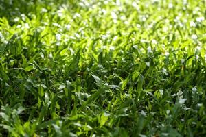 Green grass texture background with sunlight photo