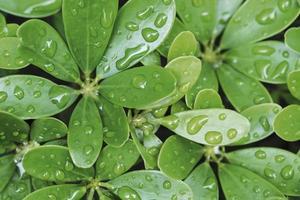 Gotas de lluvia sobre hojas verdes en temporada de lluvias fondo de naturaleza foto