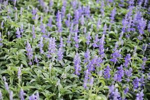 Blue salvia purple flowers in the garden photo