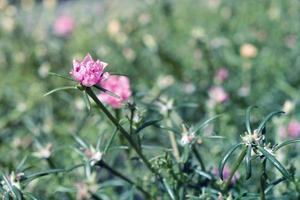 Common Purslane flower in the garden photo