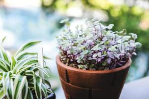 Mini turtle plant and spider plant in pot at terrace photo