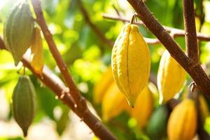 Cacao tree with cacao pods in a organic farm photo