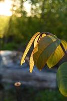 New walnut leaves photo