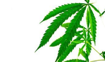 hoja de cannabis de planta medicinal verde foto