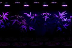Plant sapling cannabis growing in pot with LED grow light photo