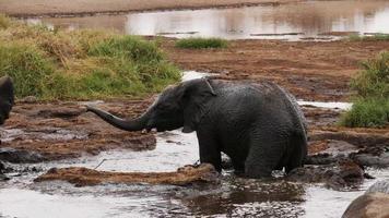Bebé elefante con baño de barro levantando su trompa foto