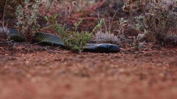 Una serpiente de mumba negra africana escondida detrás de la hierba foto