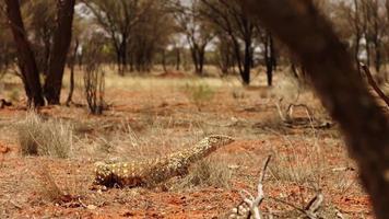 A monitor lizard behind grass photo