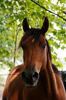 beautiful brown horse portrain in the meadow photo