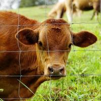 brown cow portrait in the meadow photo
