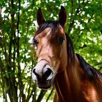 hermoso retrato de caballo marrón foto