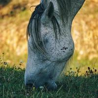beautiful white horse portrait photo
