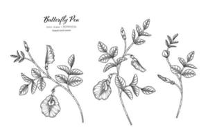 Butterfly peas flower and leaf hand drawn botanical illustration with line art vector