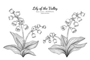 Lily of the valley flower and leaf hand drawn botanical illustration with line art vector