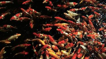 Colorful Koi Fancy carps fish in the water photo